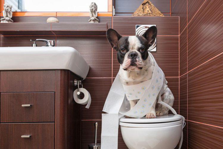 フレンチブルドッグがトイレの上でお座りしている様子