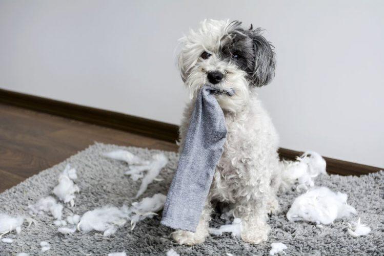 犬が飼い主の靴下を好む3つの理由