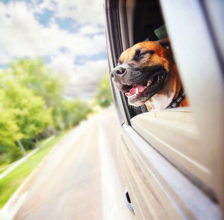 犬が車の窓から顔を出す理由