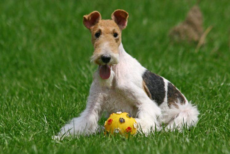 ワイアー・フォックス・テリアがボールで遊んでいる様子