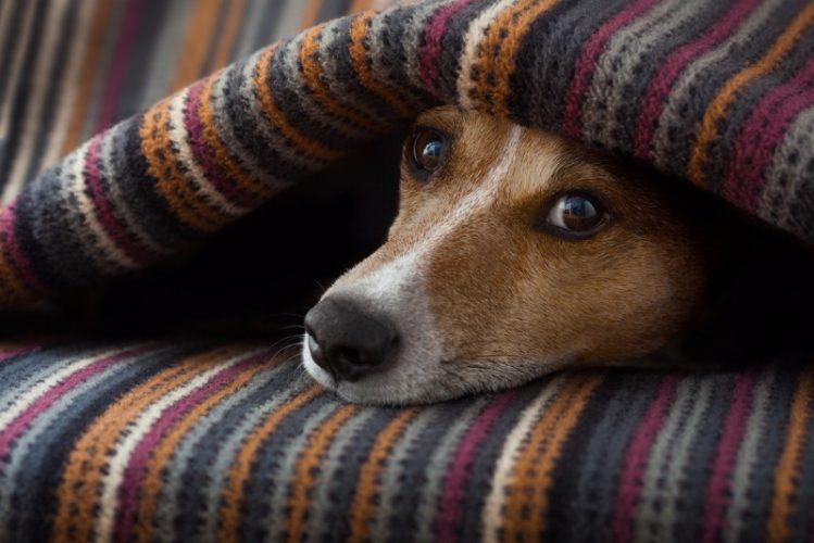 犬が毛布の中にくるまっている様子