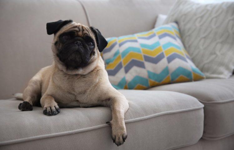 ソファの上でパグが伏せている様子