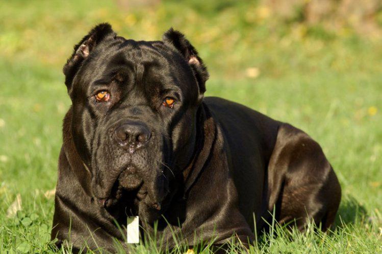 イタリアン・コルソ・ドッグが芝生の上に伏せている様子