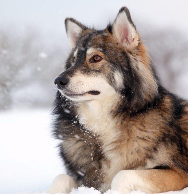 ウトナーガンが雪の上で伏せている様子