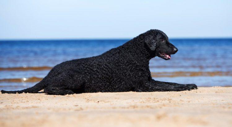 カーリーコーテッド・レトリーバーが浜辺の上で寝転んでいる様子