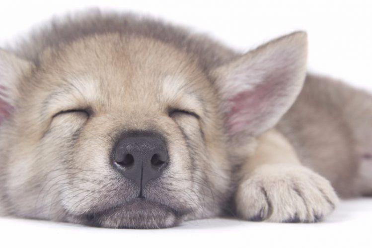サーロス・ウルフホンドの子犬が寝ている様子