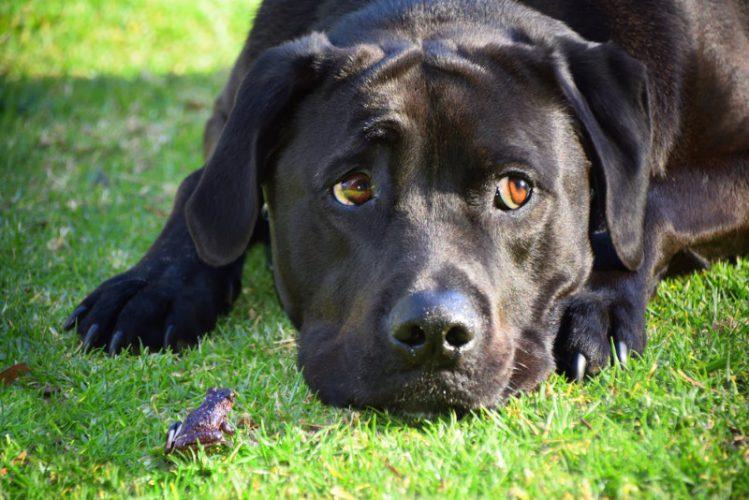 犬が芝生の上で伏せて退屈そうに何かを見つめている様子