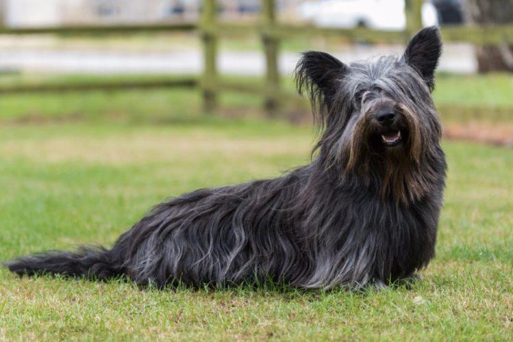 珍しい犬スカイ・テリア