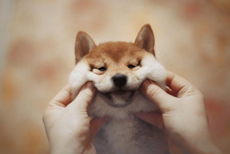 頬をつままれている柴犬の子犬