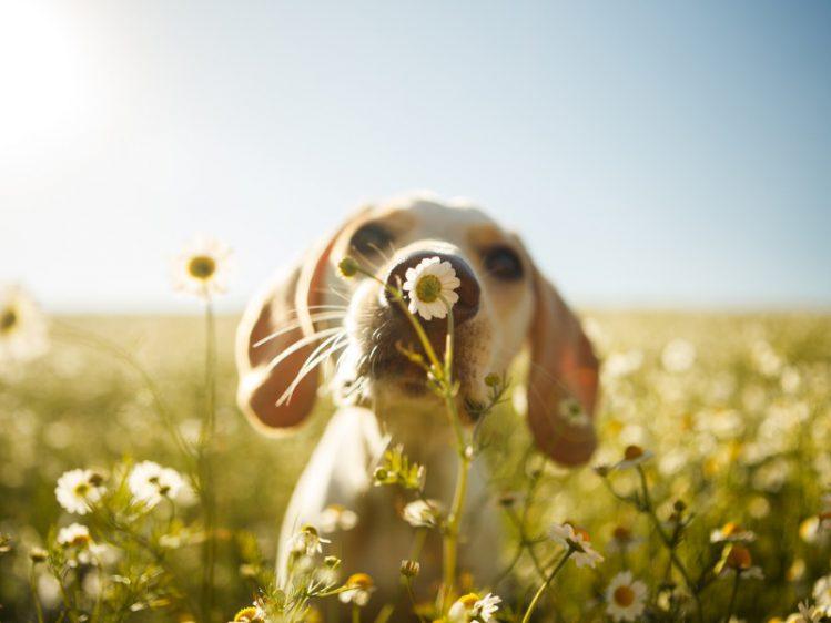 鼻のにおいを嗅ぐビーグルの子犬