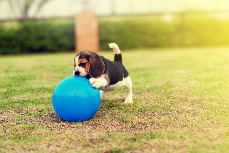 大きなボールで遊ぶ子犬