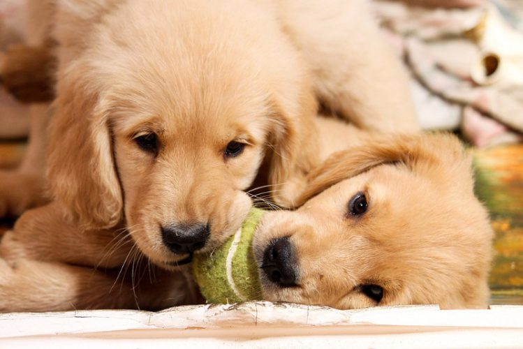 ボールで遊ぶ2匹のゴールデンの子犬