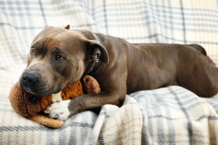 ソファに乗っておもちゃで遊ぶ犬