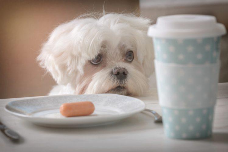 食事の乗った机に顎をのせているマルチーズの子犬