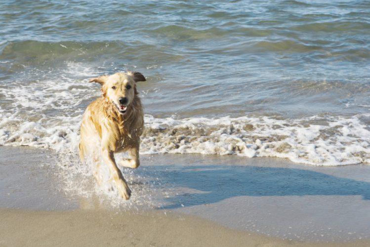 波打ち際を走るゴールデンレトリバー