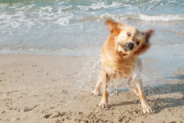 波打ち際で身体をブルブルと振っているゴールデンレトリバー