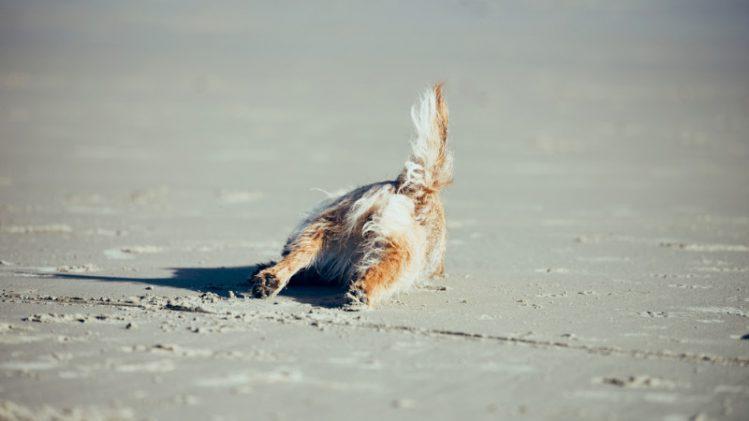砂浜でこける犬の様子