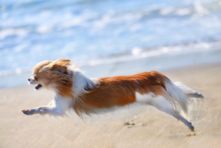 砂浜を走るチワワ