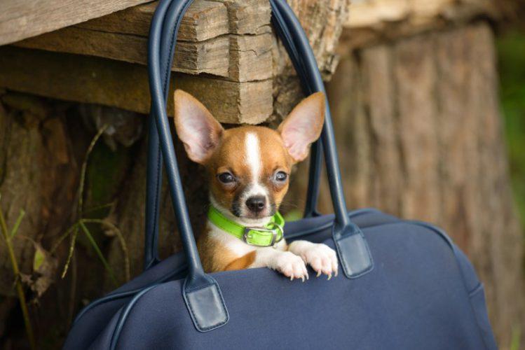 犬がかばんの中に入っている様子