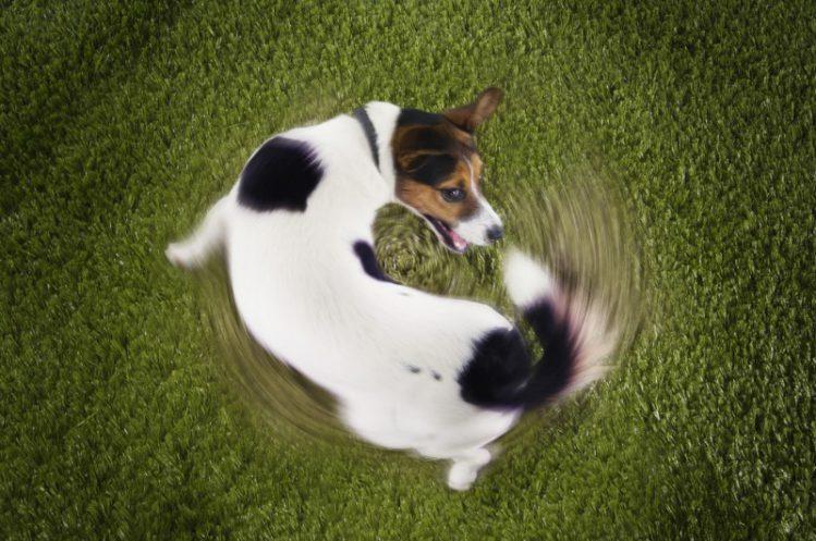 犬がしっぽを追いかける4つの理由