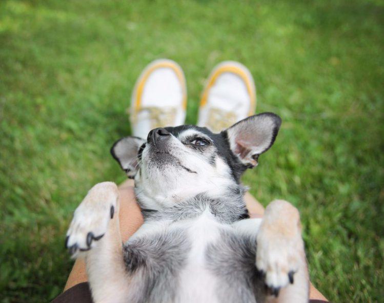 犬が仰向けになってお腹を見せる理由