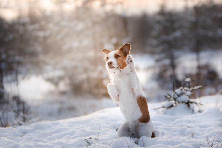 雪の中のジャックラッセルテリア