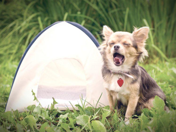 かなり小さいテントと、その隣で大きいあくびをするチワワ