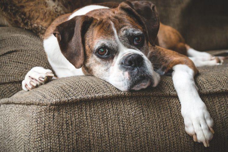 老犬になってからも散歩は行くべき?嫌がる時の対処法