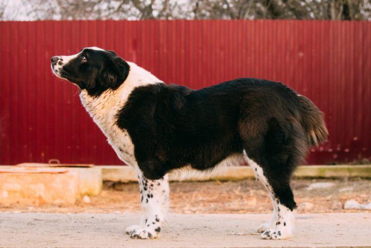 何かを見つめる大型犬