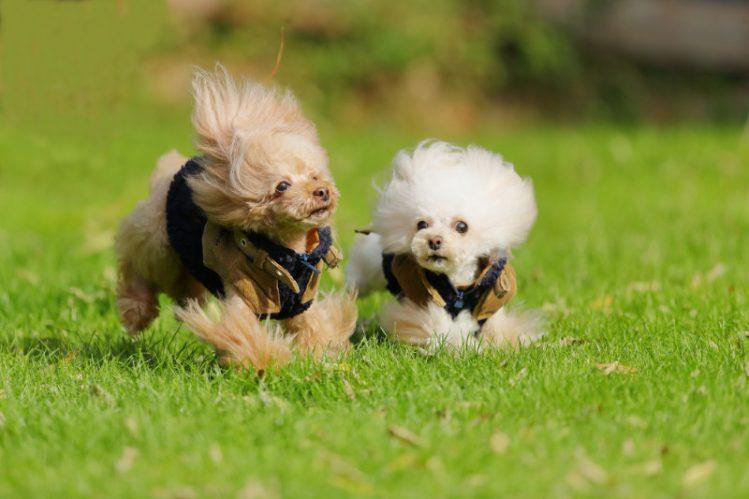 芝生の上を走る二匹のティーカッププードル