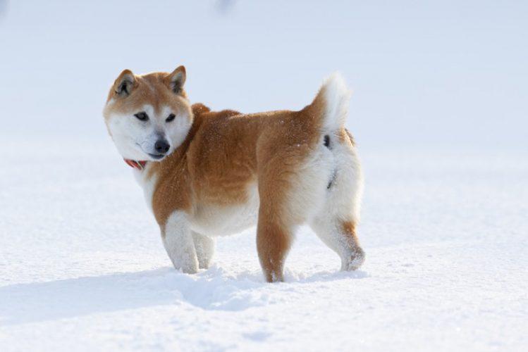 雪の中後ろを振り返る柴犬