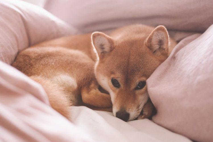 布団の上で眠る柴犬