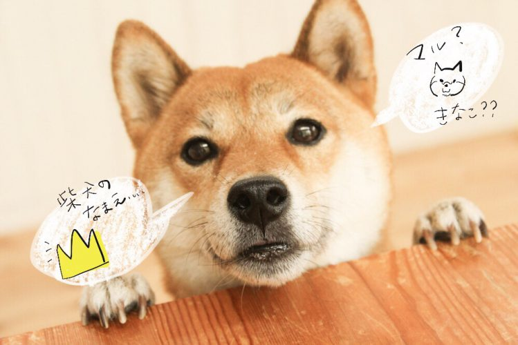 2018年ニューフェイス柴犬に人気な名前ランキング【ジョシーバ&ダンシーバ別】【アニコム調べ】